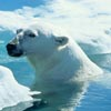 polar bear science activity