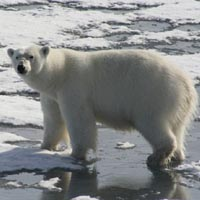Save the polar bear kids activity, lesson, and printables Kidfs Map Of Where Polar Bears Live on